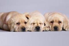 Retriever de Labrador de três filhotes de cachorro. Foto de Stock Royalty Free