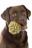 Retriever de Labrador do chocolate Fotos de Stock