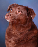 Retriever de Labrador do chocolate Imagem de Stock Royalty Free