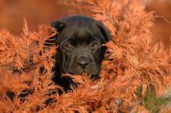 Retriever de Labrador do filhote de cachorro Fotos de Stock Royalty Free
