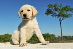 Retriever de Labrador do filhote de cachorro Foto de Stock Royalty Free