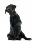 Retriever de Labrador do filhote de cachorro Imagem de Stock