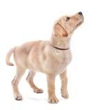 Retriever de Labrador dos filhotes de cachorro Imagem de Stock Royalty Free