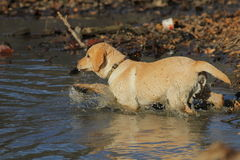 Retriever de Labrador dourado Foto de Stock Royalty Free