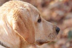 Retriever de Labrador dourado Imagens de Stock Royalty Free