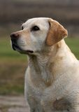 Retriever de Labrador inglês imagens de stock