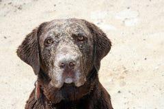 Retriever de Labrador na areia Fotografia de Stock