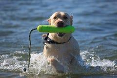 Retriever de Labrador na praia Fotos de Stock