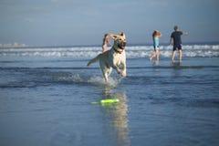 Retriever de Labrador na praia Imagem de Stock Royalty Free