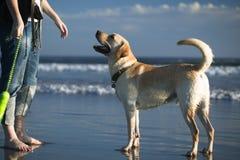 Retriever de Labrador na praia Fotografia de Stock Royalty Free