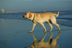 Retriever de Labrador na praia Imagem de Stock
