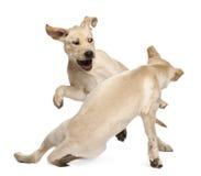 Retriever de Labrador novo, 4 meses velho Fotografia de Stock