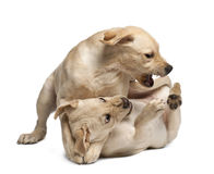 Retriever de Labrador novo, 4 meses velho Imagens de Stock Royalty Free