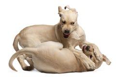 Retriever de Labrador novo, 4 meses velho Imagem de Stock
