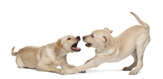 Retriever de Labrador novo, 4 meses velho Imagem de Stock Royalty Free