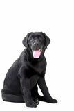 Retriever de Labrador preto Imagem de Stock Royalty Free