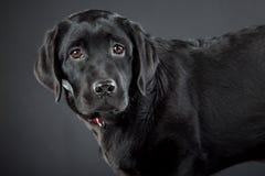 Retriever de Labrador preto Imagem de Stock