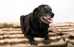 Retriever de Labrador preto Imagens de Stock