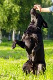 Retriever de Labrador preto Foto de Stock Royalty Free