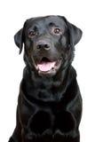 Retriever de Labrador preto com boca aberta Foto de Stock Royalty Free