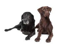 Retriever de Labrador preto e marrom Imagem de Stock