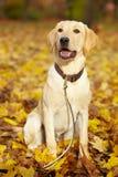 Retriever de Labrador que está sendo andado Imagem de Stock