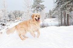 Retriever die in de sneeuw loopt Stock Afbeelding