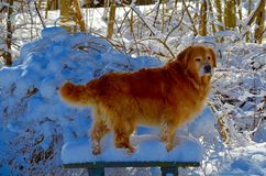 Retriever digging in the winter snow in NH Royalty Free Stock Photo