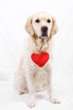 Retriever dog. With a red rose for valentines day. Part of a holiday series featuring the same dog Stock Photos