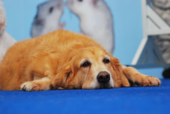 Retriever Dog royalty free stock photo