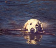 Retriever Stock Photos