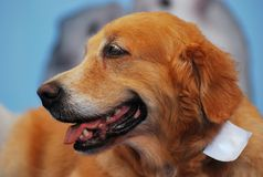 Retriever Dog royalty free stock photography