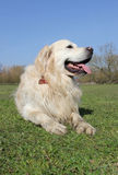 Retriever dog laying on grass Royalty Free Stock Images