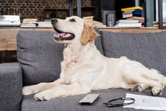 Retriever dog lying on sofa with tv remote control, newspaper and eyeglasses Royalty Free Stock Photos