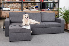 Retriever dog lying on sofa with tv remote control, newspaper and eyeglasses stock photography