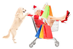 Retriever dog pushing a woman wearing Santa Claus costume. In a shopping cart isolated on white background royalty free stock images