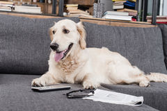 Retriever dog relaxing on sofa with tv remote control, newspaper and eyeglasses Royalty Free Stock Images