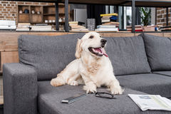 Retriever dog relaxing on sofa with tv remote control, newspaper and eyeglasses Stock Photos