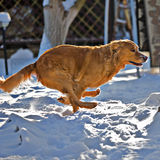Retriever dog running. Golden retriever running in the snow Royalty Free Stock Image