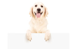 Retriever dog standing behind white panel. Isolated on white background Stock Images