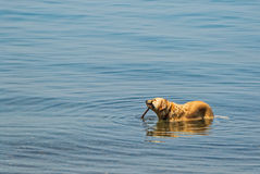 Retriever Dog with Stick in Mouth Royalty Free Stock Images