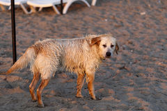 Retriever dourado Fotos de Stock Royalty Free