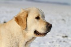 Retriever dourado Foto de Stock