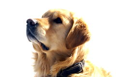Retriever dourado Fotografia de Stock