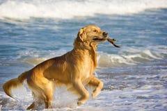 Retriever dourado Foto de Stock