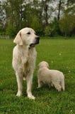Retriever dourado com filhote de cachorro Imagens de Stock Royalty Free