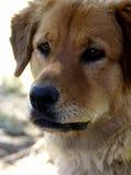 Retriever dourado de Headshot do cão imagem de stock royalty free