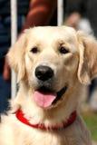 Retriever dourado do cão   imagem de stock