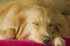 Retriever dourado do sono imagens de stock royalty free