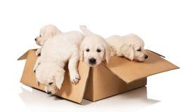 Retriever dourado dos filhotes de cachorro imagens de stock royalty free